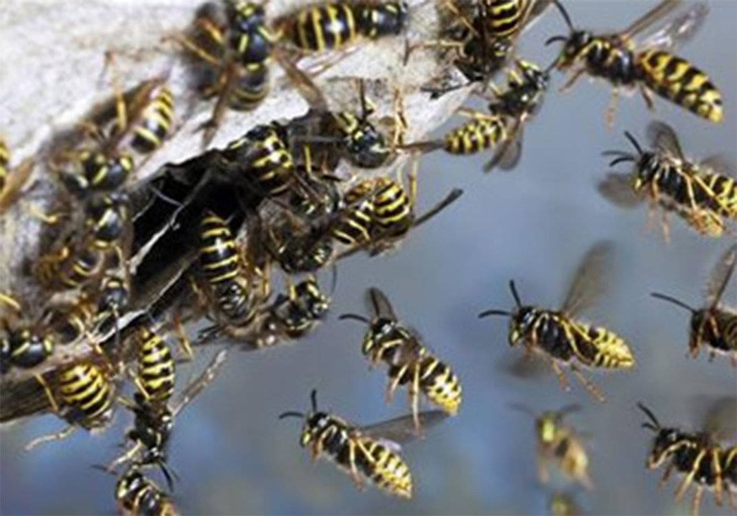 Wasp Control Prestwich 24/7, same day service, fixed price no extra!