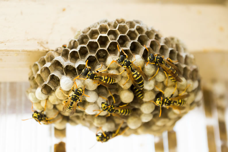 Wasp Control Sale - Wasp nest treatment 24/7, same day service, covering Sale, Sale and cheshire, fixed price no hidden extras!